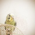 A green domestic budgie wavy parrot sits on cage Stock Image