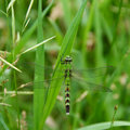 Green Dragonfly. Royalty Free Stock Photography