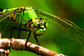 Green dragonfly in macro Stock Images