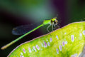 Green dragonfly resting eating spider on leaf Royalty Free Stock Images