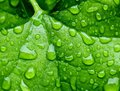 Green drops on an ivy leaf Stock Image
