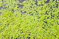 Green duckweed Royalty Free Stock Photo