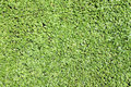Green duckweed. Stock Photo