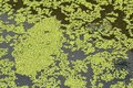 Green duckweed on water Royalty Free Stock Photo