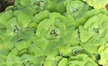 Green duckweed water plant Royalty Free Stock Photo