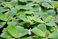 Green duckweeds on water Royalty Free Stock Photo