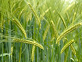 Green durum wheat field Stock Photo