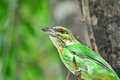 Green-eared Barbet Bird Royalty Free Stock Images