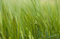 Green ears of a rye Royalty Free Stock Photo