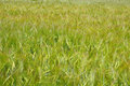 Green ears of wheat in spring morning closeup Stock Photos