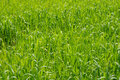 Green ears of wheat in spring morning closeup Royalty Free Stock Photo