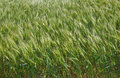 Green ears of wheat to sway in a wind Stock Photo