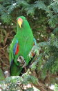 Green eclectus parrot Stock Photography