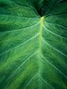 Green Elephant Ear Leaf background