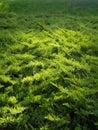 Green elfin wood texture