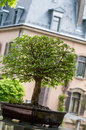 Green elm as bonsai tree Stock Photo