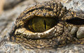 Green eye of crocodile Royalty Free Stock Image