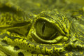 Green Eye of a green alligator Royalty Free Stock Photos