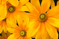 Green-eyed Susans (Rudbeckia) Royalty Free Stock Photography