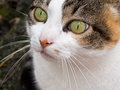 Green Eyed Tabby, Calico Pet C...