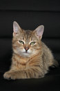 Green eyes cat charming young female tabby with Royalty Free Stock Photo