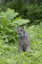 Green eyes a male lynx in fern canopy in forest Royalty Free Stock Photography