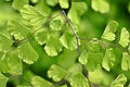 Green fairy fern Stock Image