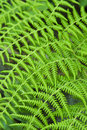 Green Fern Royalty Free Stock Photo