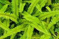 Green fern as a background Royalty Free Stock Photo