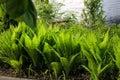 Green fern bushes Royalty Free Stock Photo
