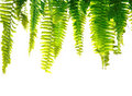 Green fern fronds Stock Images