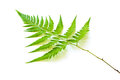 Green fern isolated on white background Royalty Free Stock Image
