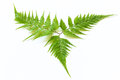Green fern isolated on white background Stock Photography