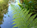 Green fern and lake Royalty Free Stock Photography