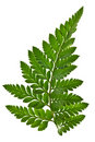 Green fern leaf isolated Royalty Free Stock Photo