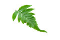 Green fern leave isolate on white Royalty Free Stock Photos
