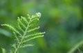 Green fern leaves Royalty Free Stock Photo