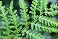 green fern texture Royalty Free Stock Photo