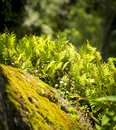 Green Ferns and Moss Royalty Free Stock Photo