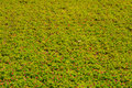 Green Field Background Royalty Free Stock Image