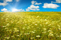 Green field with blooming flowers and blue sky Royalty Free Stock Photo