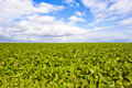 Green field and a bright sky Royalty Free Stock Photo