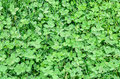 Green field of Clover or trefoil, background and texture Royalty Free Stock Photo