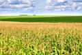 Green field with corn Royalty Free Stock Photography