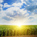 Green field with corn. Blue cloudy sky. Sunrise on horizon. Royalty Free Stock Photo