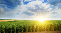 Green field with corn. Blue cloudy sky and sunrise Royalty Free Stock Photo