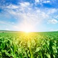 Green field with corn and Sunrise on the horizon Royalty Free Stock Photo