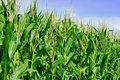 Green field of corn Royalty Free Stock Photo