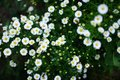 Green field of daisies Royalty Free Stock Photo