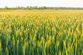Green field with ears of wheat Royalty Free Stock Photo